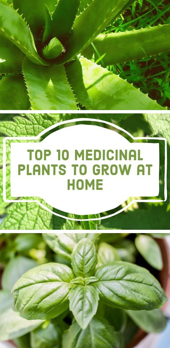 Top 10 Medicinal Plants to Grow at Home – Gardening
