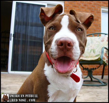 American Pitbull Red Nose - Happy Pit bull Puppy....i want this one