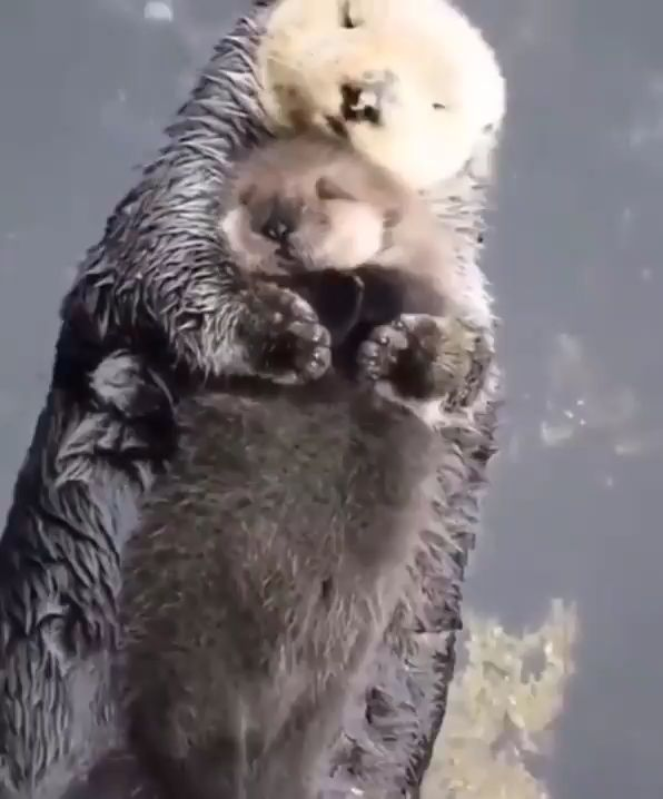 Momma sea otter making sure her pup is comfy 🔥