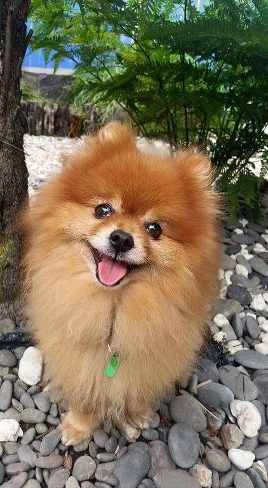 El Pomerania, también llamado Zwergspitz o Spitz Enano, es pequeño debido a la crianza selectiva, pero conserva la robustez y el pelaje típicos de los perros de climas fríos.El Pomerania tiene un carácter curioso, dócil, valeroso y atrevido. Es un perro seguro de sí mismo que se muestra distante con los extraños pero tierno y tranquilo con sus dueños. Es muy juguetón y le gusta correr. Posee una gran inteligencia y necesita que se le estimule intelectualmente.