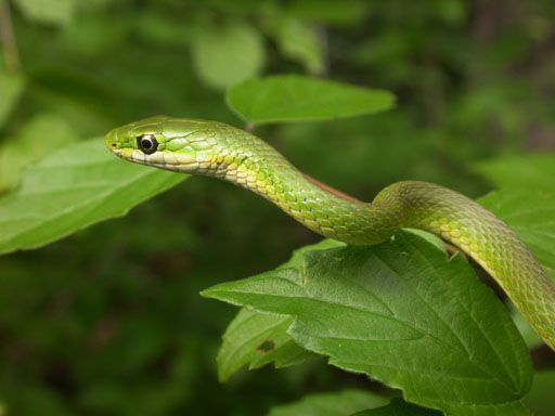 Opheodrys aestivus - Rough Green Snake