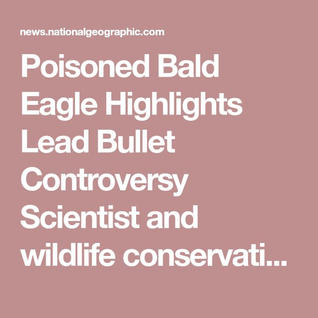Poisoned Bald Eagle Highlights Lead Bullet Controversy Scientist and wildlife conservationists, however, have long been calling for a lead bullet ban. In 2013, a group of scientists collectively released a statement warning that lead bullets could have yet-to-be-seen and unknown consequences in the future. Lead ammunition currently amounts to the second most used source of lead in the U.S. and frequently discharges the toxic substance into the environment.