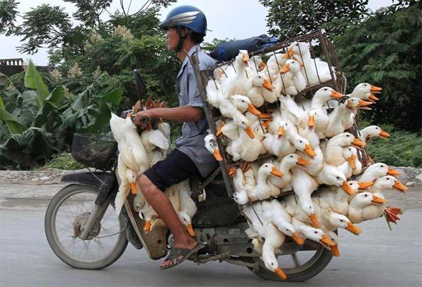 A man transported ducks on a motorcycle to a market in Nam Ha province, Vietnam.