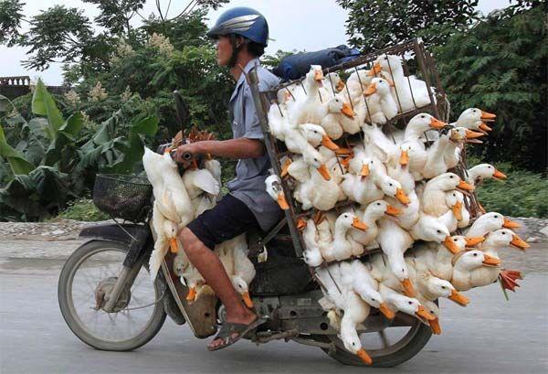 Man carrying ducks on bike. Nam Ha Province, Vietnam #bicycle loads