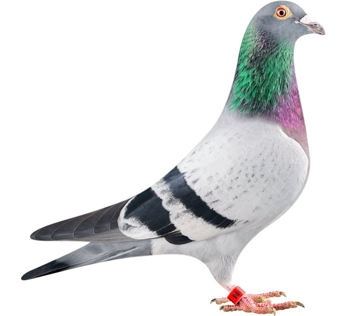 A racing pigeon named Bolt officially became the most expensive pigeon in the world earlier this week when a Chinese businessman bought him at auction for $400,000. The pigeon, who is named after Olympic superstar Usain Bolt, sold at Belgiums Pipa auction house, according to the AP. The previous record price for a pigeon was $322,000.