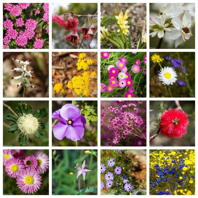 perth in september wildflowers - Google Search