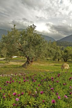 olive trees in the early morning light, Greece