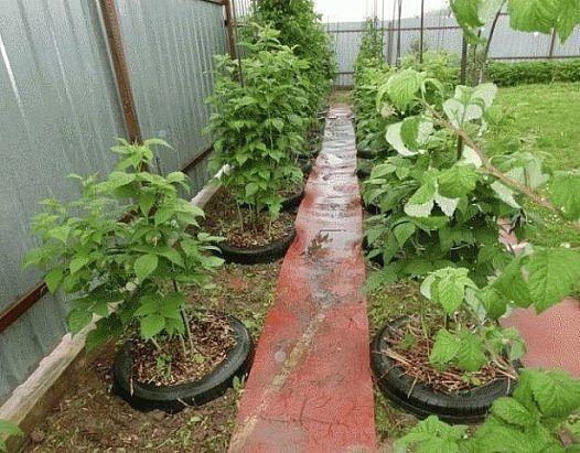 выращивание малины!!!
