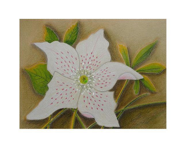 Schneerose Zeichnung  Größe: ca. A4 Material: Pastellstifte, Pastelkreide  Heilzeichnen