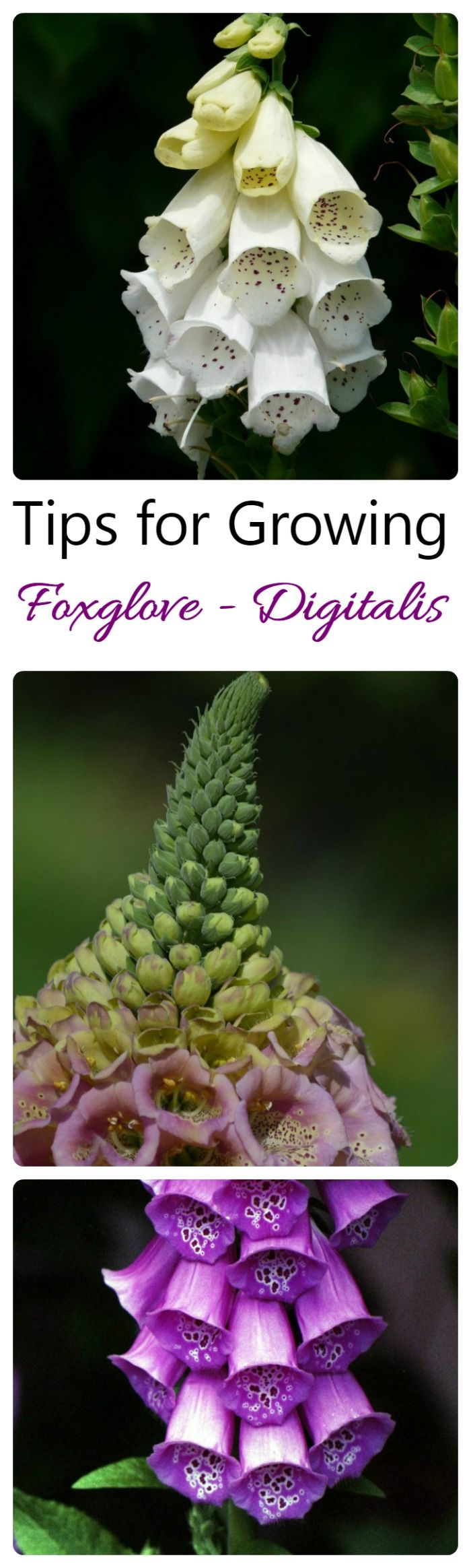 Foxglove (digitalis) is a spectacular biennial. Be careful though. All parts of…