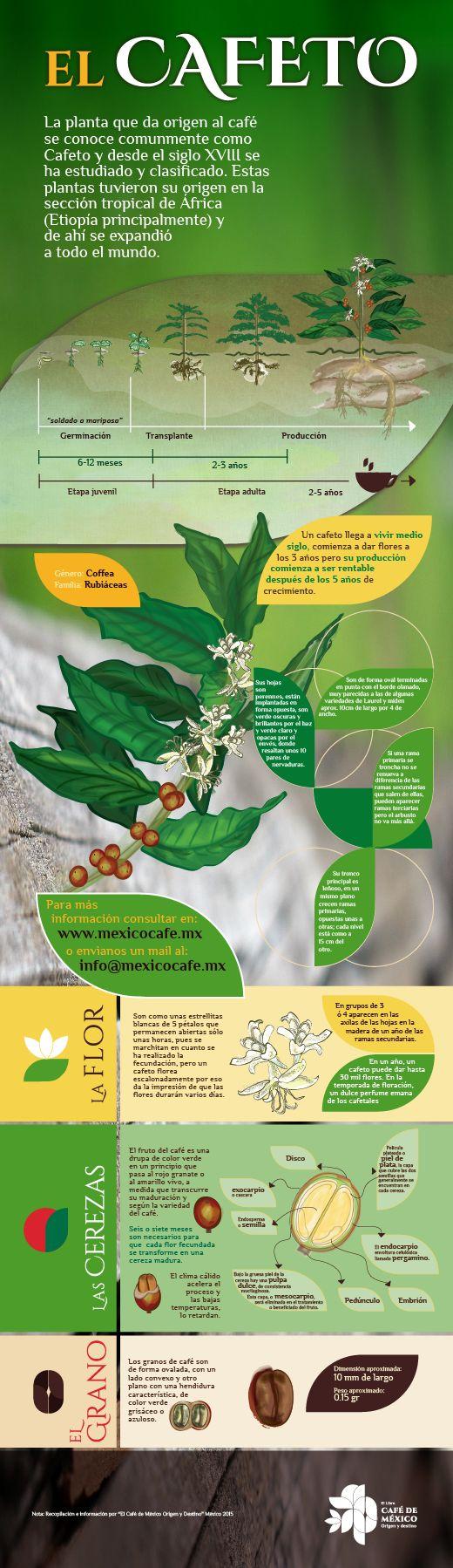 El cafeto. Un cafeto llega a vivir medio siglo, comienza a dar flores a los 3 años pero su producción comienza a ser rentable después de los 5 años de crecimiento.