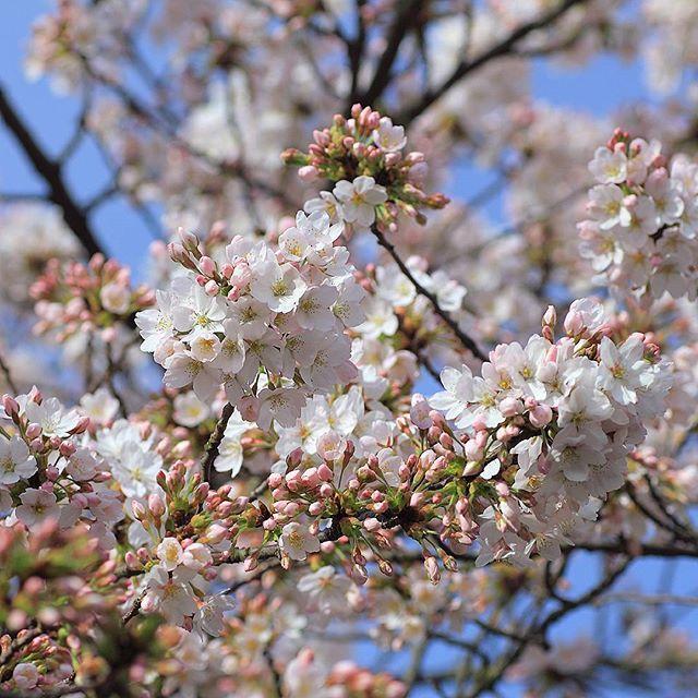 Wiosna W Holandii Kwitnace Wisnie Na Dziedzincu Muzeum Etnograficznego W Lejdzie Spring In The Netherlands Blooming Cherries In Bloom Spring Plants