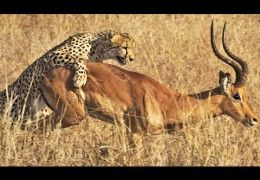 Cheetah Kills Male Impala Right Next to Road