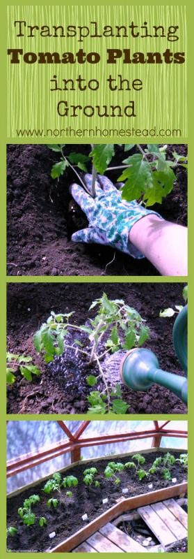 A step by step how to transplant tomato plants into the ground - NorthernHomestead