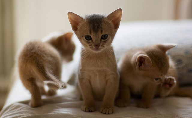 {I'm in the middle} Abyssinian kittens!