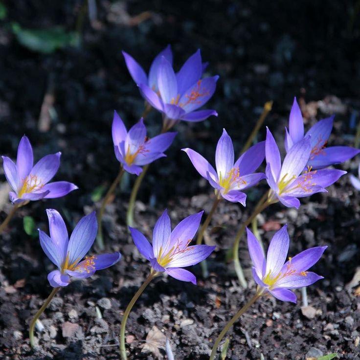 北大の植物園に群生してたこやつらイヌサフランだと思うと教えていただいたのだが東京では紫のはなかなか見ない花芯が白いせいで光っているように見える