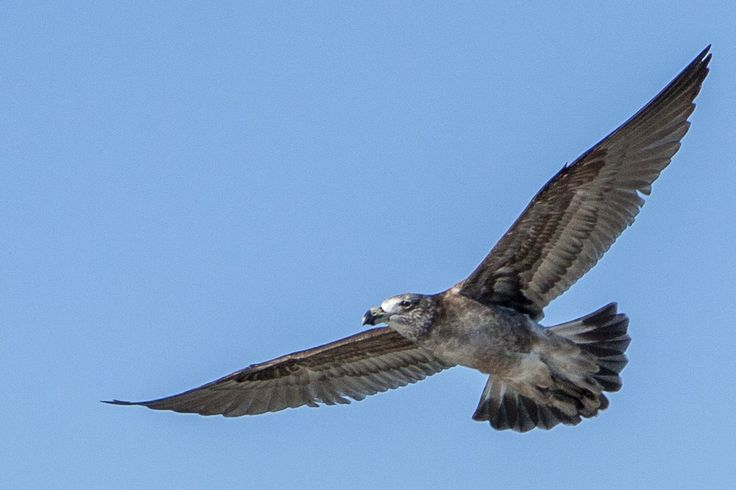 Pacific Gull in Flight