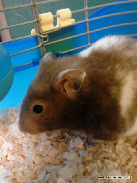 17 best images about Baby teddy bear hamsters on Pinterest ...