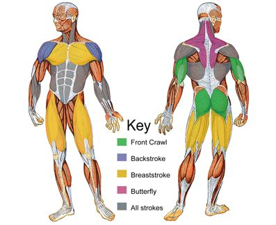 these are the muscle groups swimming works!! love it :)
