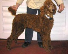 Standard Poodles For Sale | Standard Poodle Puppies for Sale