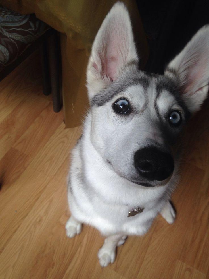 My American Eskimo Siberian husky mix with heterochromia http://ift.tt/2k8V0bI