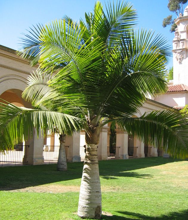 17 best ideas about palm tree types on pinterest indoor palms palm trees landscaping and palm. Black Bedroom Furniture Sets. Home Design Ideas