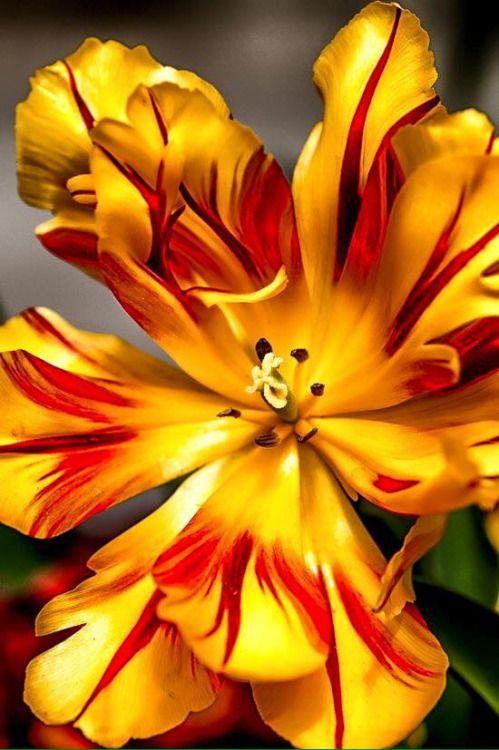 576 besten tulips bilder auf pinterest sch ne blumen flowerpower und exotische blumen. Black Bedroom Furniture Sets. Home Design Ideas