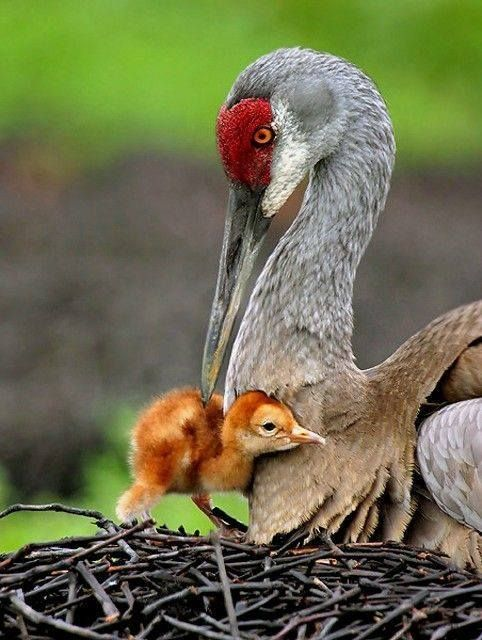 A mother SandhIll Crane and her chick