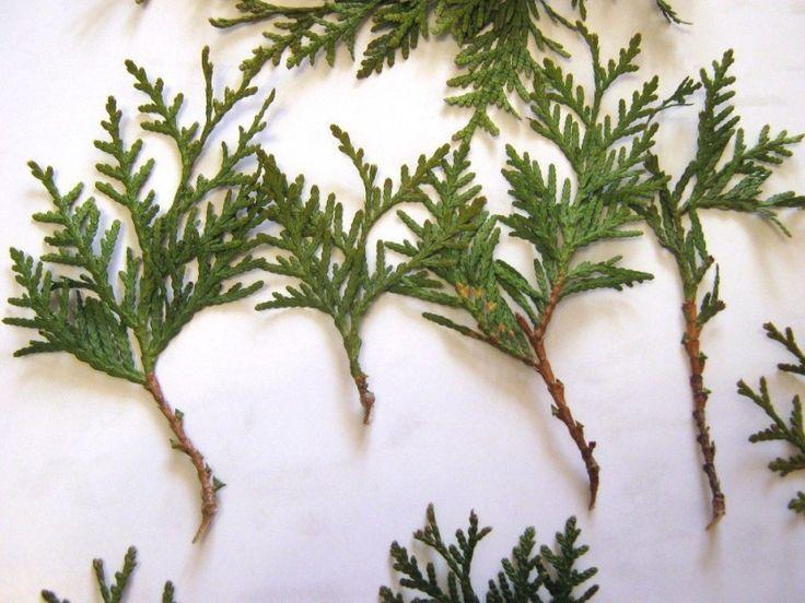 Как я выращиваю тую из веточки. Я очень люблю вечнозеленые растения из-за их круглогодичной декоративности. Но, к сожалению, посадочный материал таких растений стоит недешево, поэтому я освоила м…