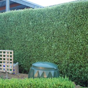 Pittosporum Silver Sheen. A fast growing hedge. Easy to prune. Frost and drought tolerant once established. Grows to 2 m wide and 4 m tall.