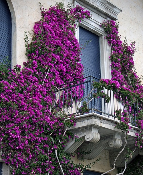 Bougainvillea - maybe this will look good growing on the back wall of the house.