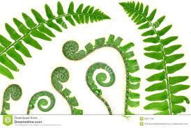 Image result for fern drawings images