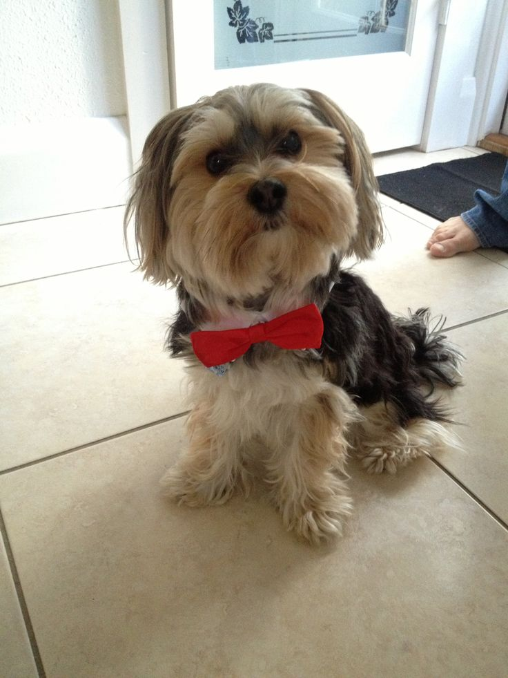 112 best images about I Love Morkies ♥ on Pinterest