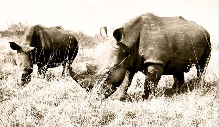 www.sunsafaris.com #tom #jerry #umkumbe #safari #lodge #africa #kruger #sabi #sands #game #reserve #wildlife #rhino