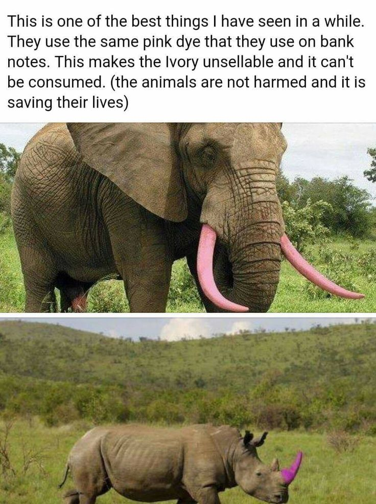 Problem solved! Dye them all! Horns and tusks can be dyed to prevent poaching for ivory!