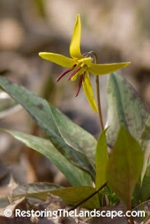 Restoring The Landscape With Native Plants Native Trout Lilies Trout Lily Yellow Wildflowers Native Plants