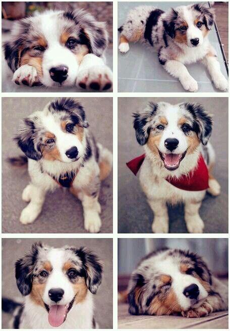 Australian Shepherd puppy...they're such happy, fun-loving dogs!!!