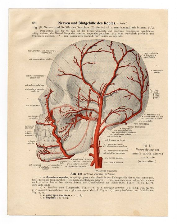 Vintage Illustration Print medical 1933 skull skeleton anatomical anatomy page. Artère carotide externe.