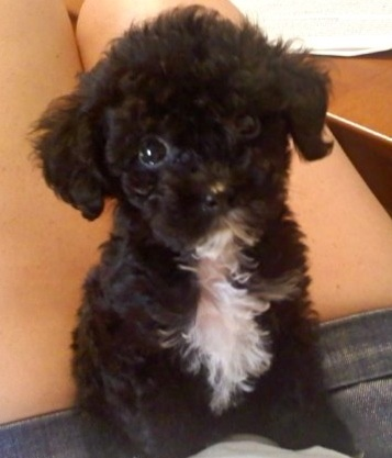 Maltipoo puppy - heart meltingggg hoping Belle has one that looks like this!!!!!!!