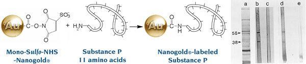 [Nanogold labeling of Substance P (39k)]