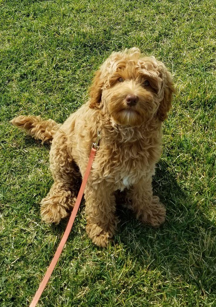Caramel australian labradoodle puppy rueslick
