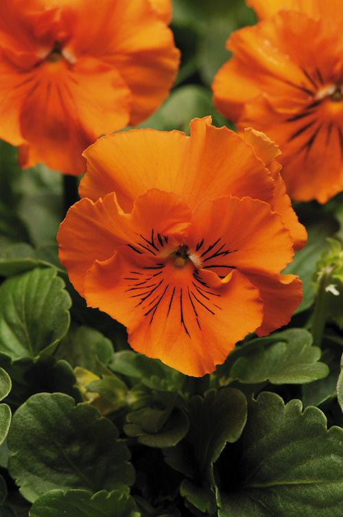 images of frizzle sizzle orange pansies