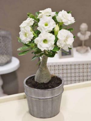 Photo Rose du désert à fleurs doubles blanches
