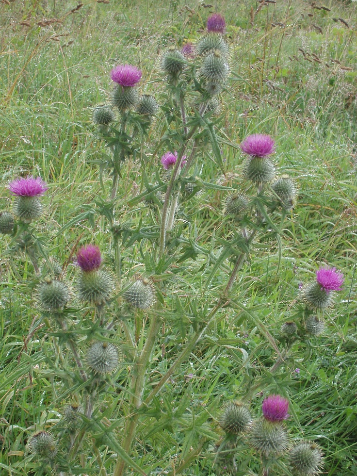 This is the Scottish Thistle. This is Scotland's national flower. http://media-cache-ec3.pinimg.com/originals/99/cd/4c/99cd4c41ce83a170f1bc2e792e538468.jpg