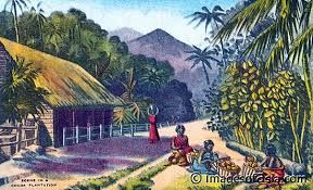 Image result for cacao plantation