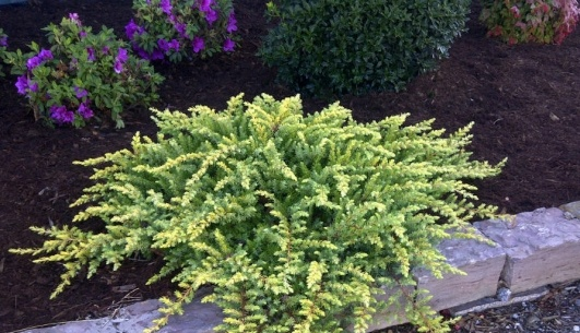 Golden Pacific™ Juniper features golden yellow foliage and is salt tolerant, drought tolerant, heat tolerant and deer resistant.