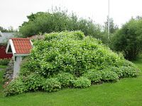 Sol och grönt: Marktäckande växter ger lättskötta områden. Olika nävor/erilaisia kurjenpolvet. bild/kuva: Wiplant kund-privat/yksityinen Wiplant-asiakas.