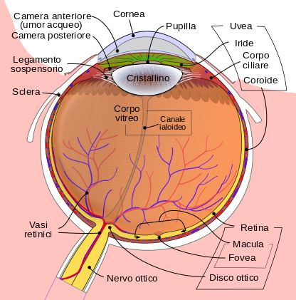 File:Schematic diagram of the human eye it.svg