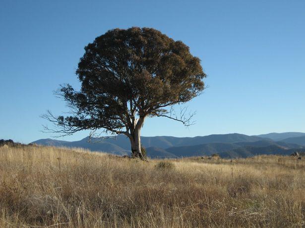 Gum Tree Canberra Australia