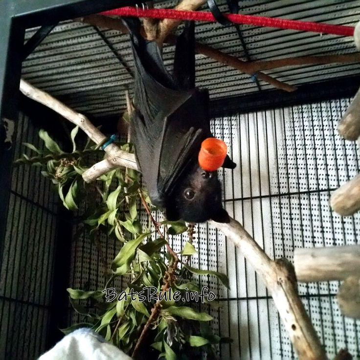 Big boy now. Happy to hang oo his own today. Rehab megabat flying fox black male baby. #batsrule #megabat #flyingfox #fruitbat #bat #babybat